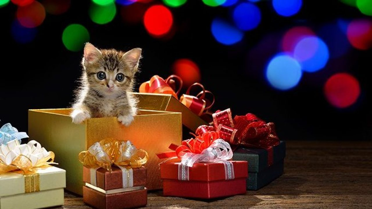 kitten-as-christmas-gift-2-e1545440401916-1280x720